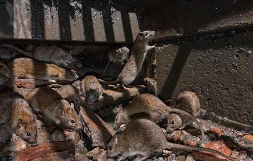 Iznajdljive podgane