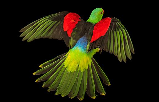 Ogroženi papagaji