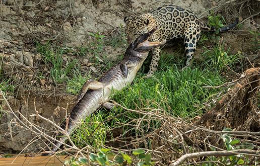 V jaguarjevem kraljestvu