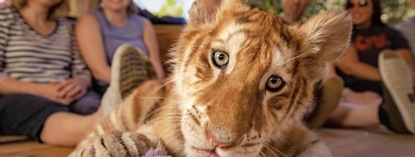 Tiger pri sosedih