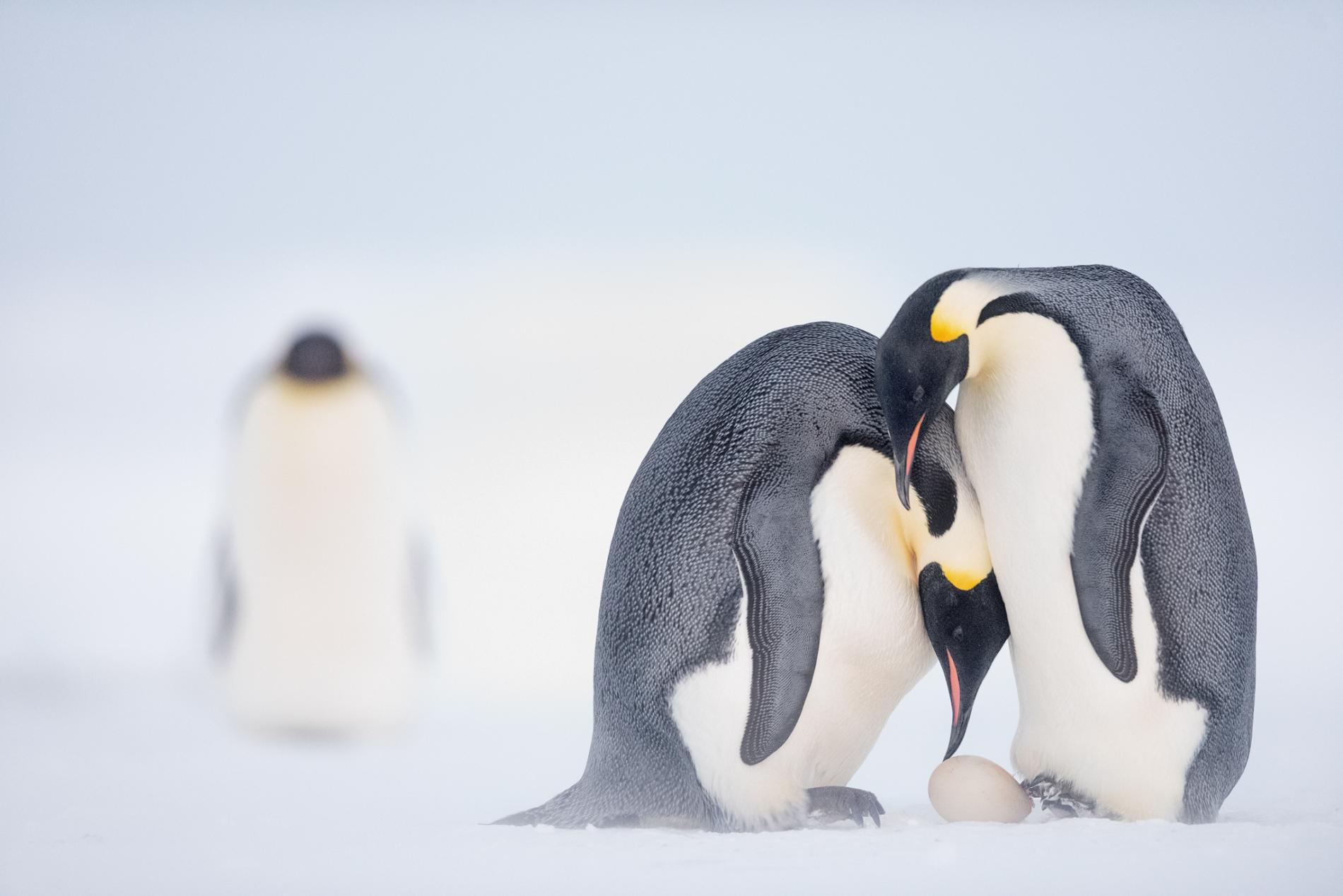 Cesarski pingvini