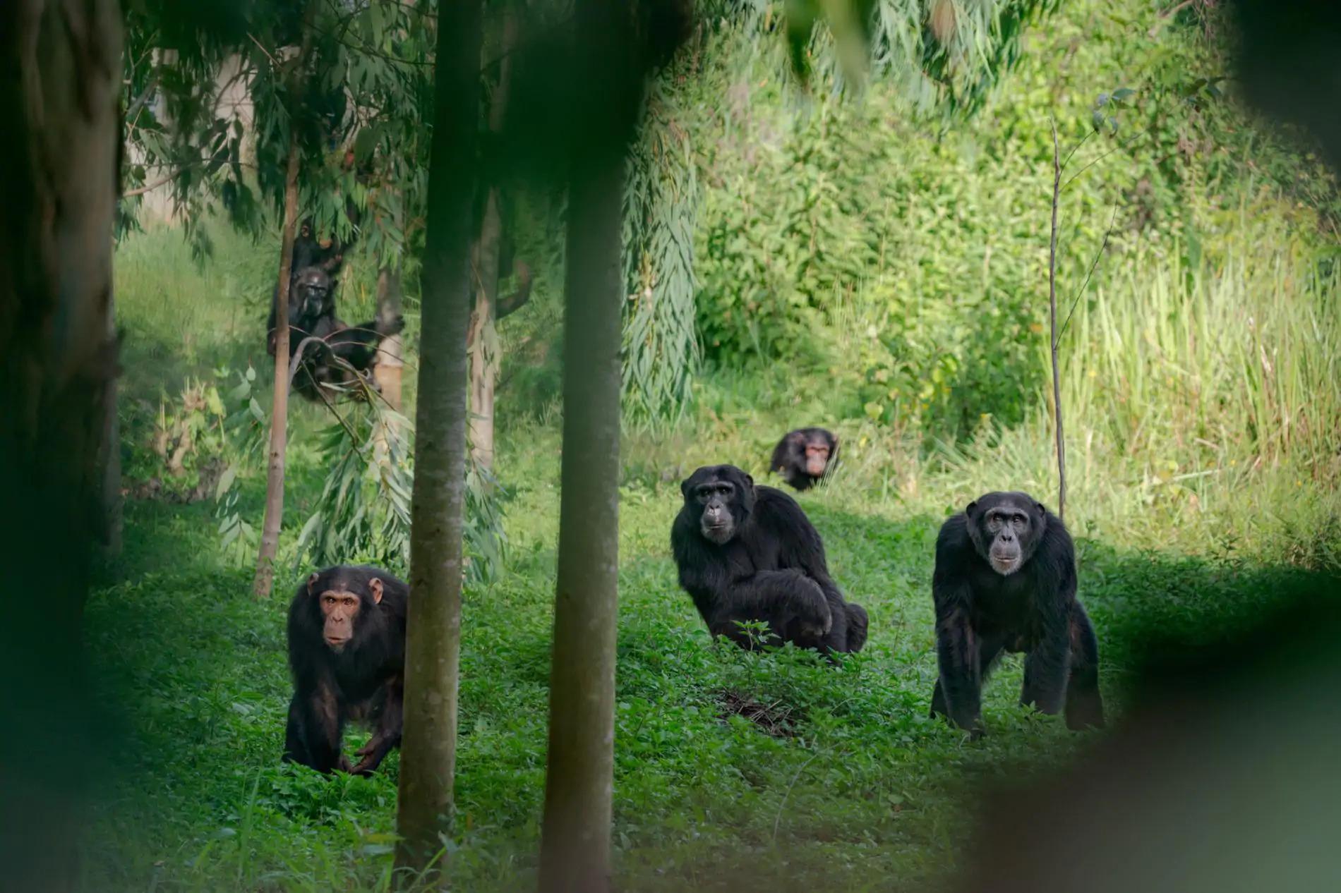 Življenje s šimpanzi