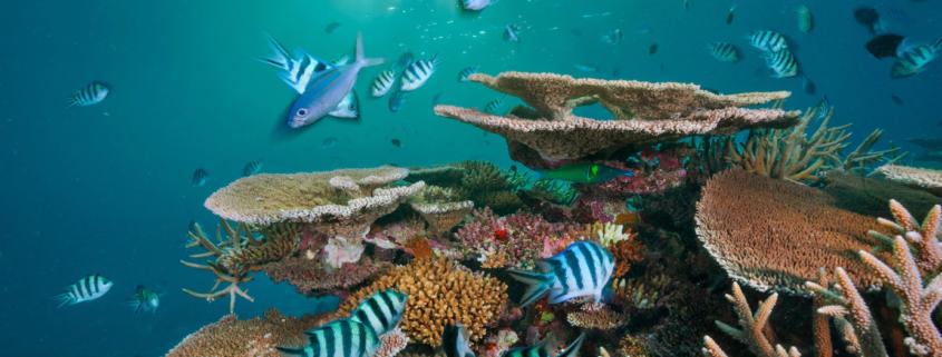 Reševanje koralnih grebenov