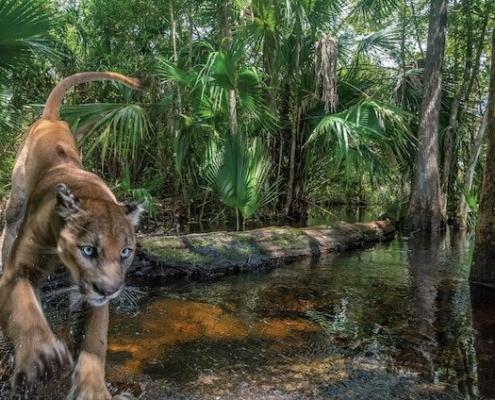 Floridska puma