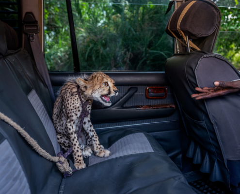 Gepardi na prodaj