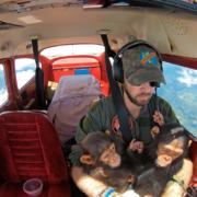 Reševanje šimpanzov